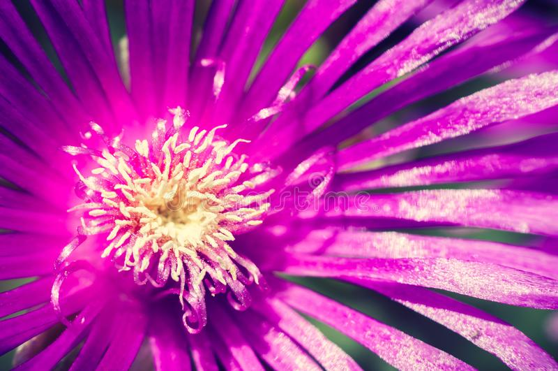 Härligt violett blommaslut upp arkivfoton