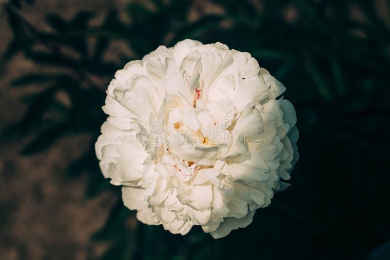 Härligt vitt pionblommaslut upp att växa i trädgården Urblekta f?rger arkivbild
