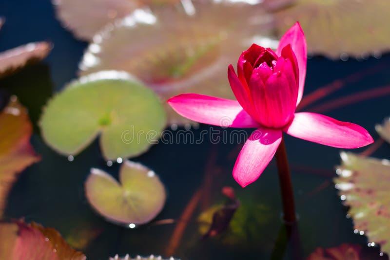 Härligt waterlily eller lotusblommablomma i dammet arkivbild