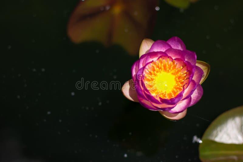 Härligt waterlily eller lotusblommablomma i dammet arkivbilder