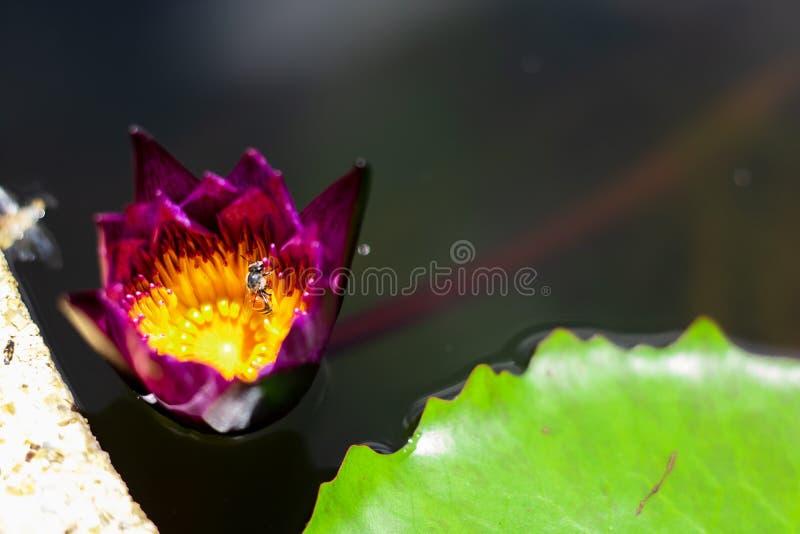 Härligt waterlily eller lotusblommablomma i dammet royaltyfria bilder