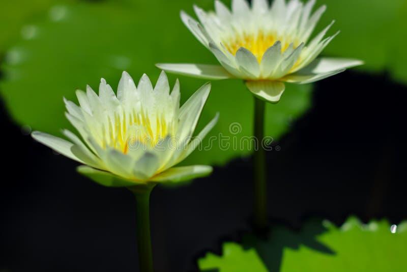Härligt waterlily eller lotusblommablomma i dammet arkivfoto