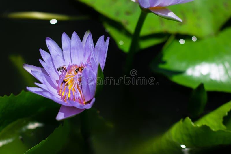 Härligt waterlily eller lotusblommablomma i dammet arkivfoton