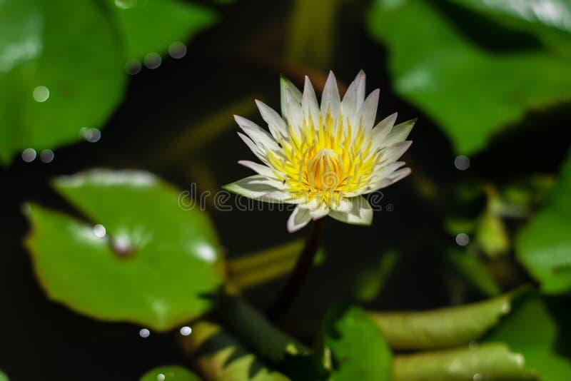 Härligt waterlily eller lotusblommablomma i dammet fotografering för bildbyråer