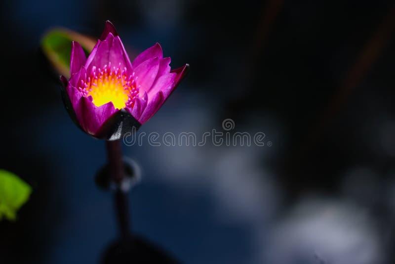 Härligt waterlily eller lotusblommablomma i dammet royaltyfria foton