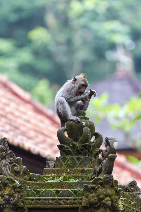 Download Härma äta Frukt I Ubudskogen, Bali Arkivfoto - Bild av sakralt, skog: 27280898