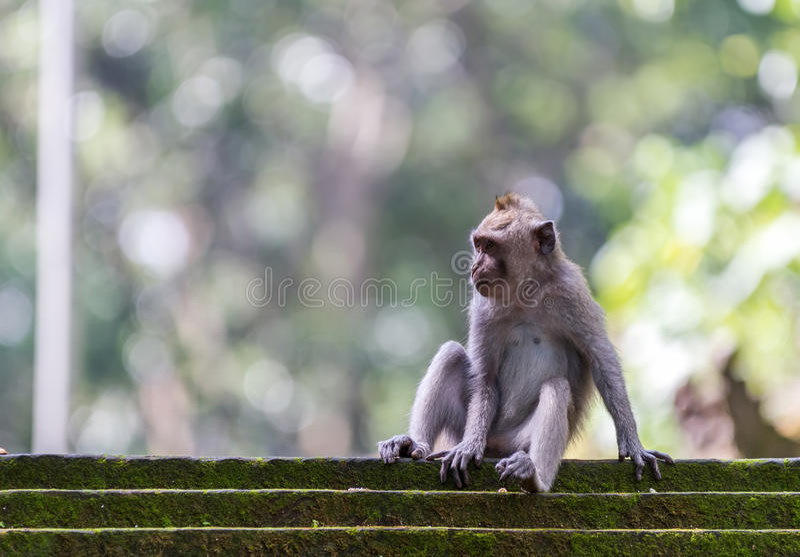 Download Härma Att Sitta På Moment I Den Ubud Skogen, Bali Arkivfoto - Bild av primat, wild: 27280500