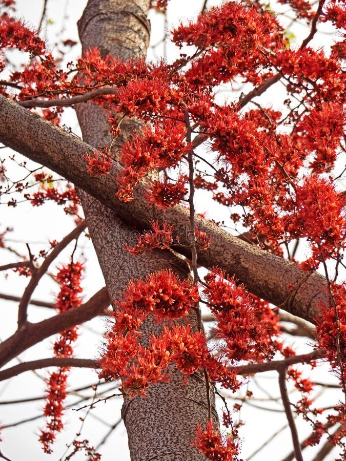 Härma blommaträdet eller avfyra pakistanskt som isoleras på himmel royaltyfri foto