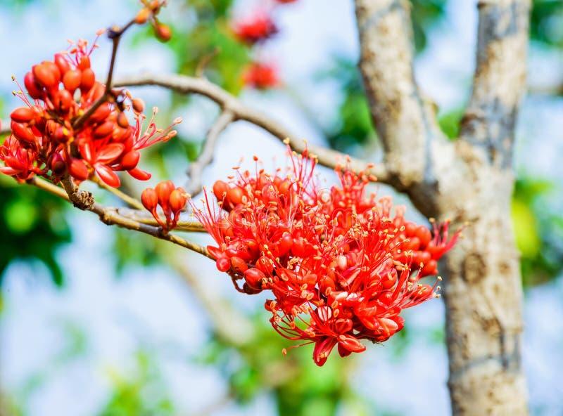 Härma blommaträdet, pakistanskt rött härligt för brand arkivbild