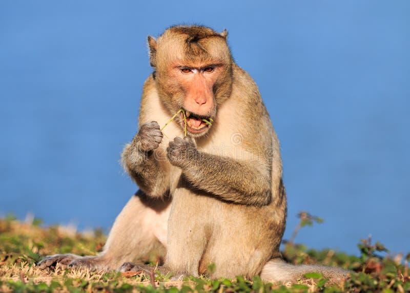 Härma (Krabba-äta macaquen) att äta unga trädet av växter arkivfoto