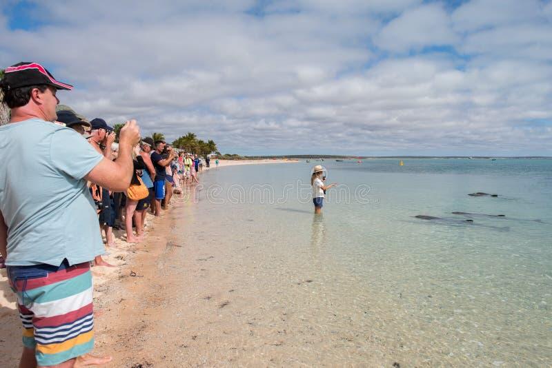 HÄRMA MIA, AUSTRALIEN - AUGUSTI, 28, 2015 - delfin nära kusten får i handlag med människor arkivfoton