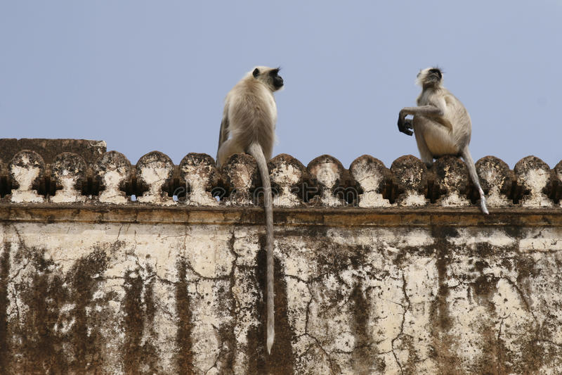 härmar den hanuman languren för entellusen semnopithecus royaltyfri fotografi