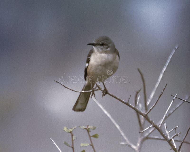 Härmfågel på en lem arkivbild
