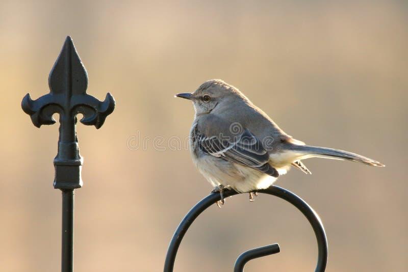 Härmfågel på vakten fotografering för bildbyråer