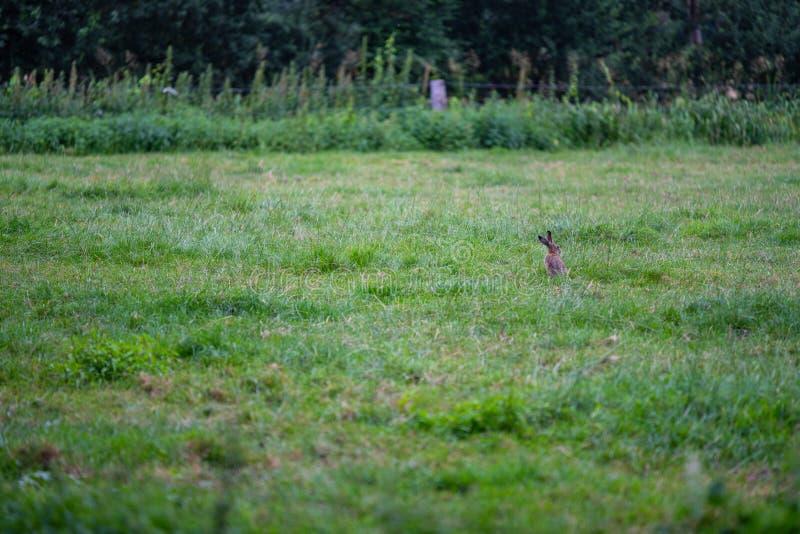Häschen auf einem Feld morgens stockbilder