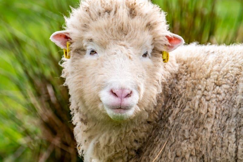 Hässliche alte Schafe, die die Kamera untersuchen stockbilder