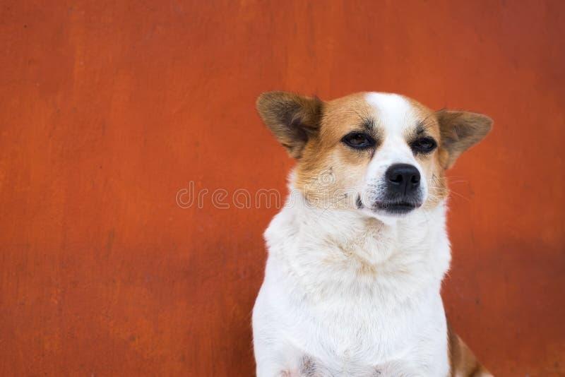 Hässlicher Hund des Weiß und des Stirnrunzelns schauen arrogant Sie ist wie ein wirklicher Chef lizenzfreie stockbilder