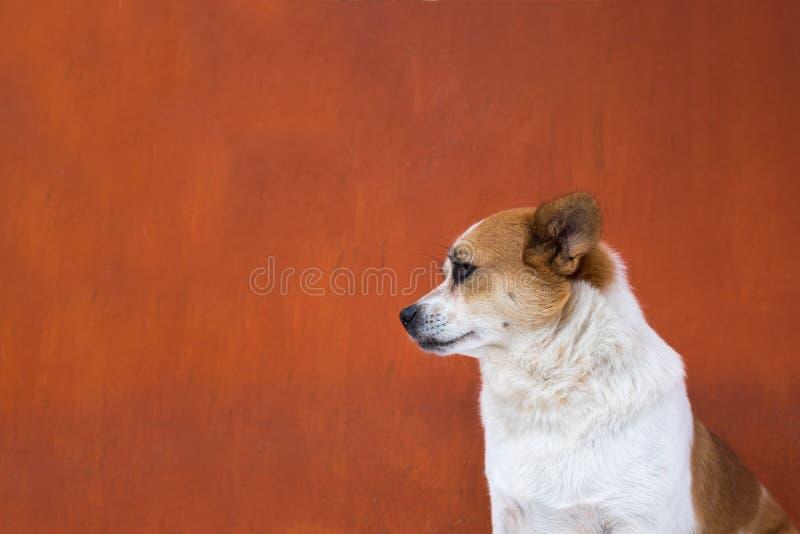 Hässlicher Hund des Weiß und des Stirnrunzelns schauen arrogant Weicher Fokus lizenzfreies stockfoto