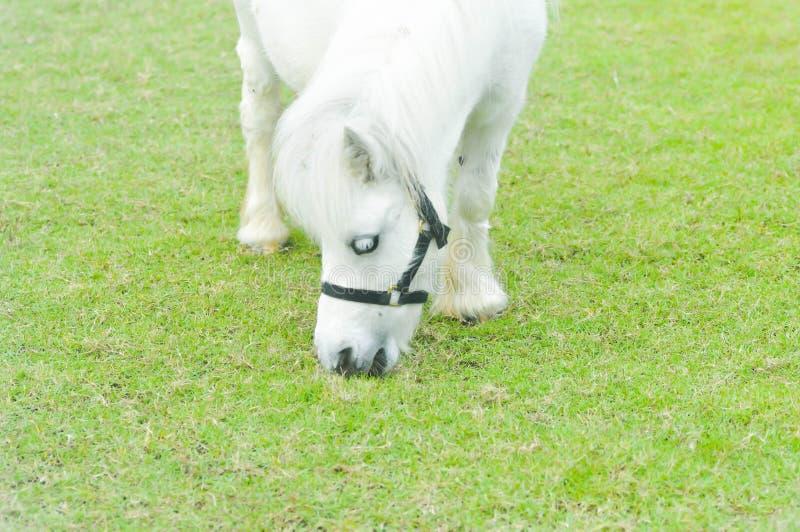 Häst- eller vitponny` s som äter något gräs på lantgården royaltyfria foton