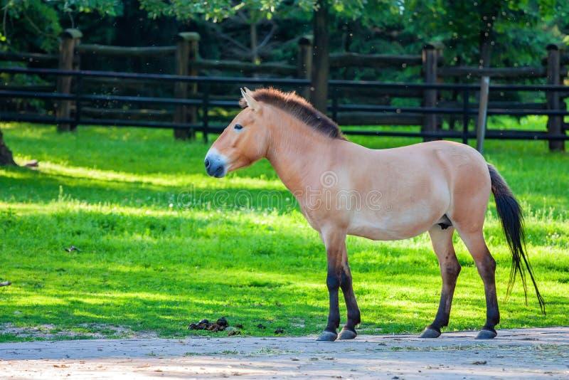 Häst för Przewalski ` s på grönt gräs i zoo royaltyfria foton