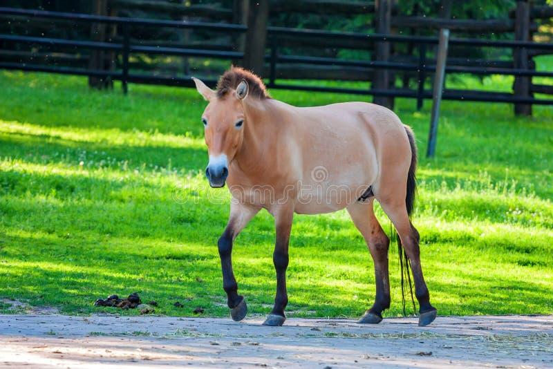 Häst för Przewalski ` s på grönt gräs i zoo arkivbild