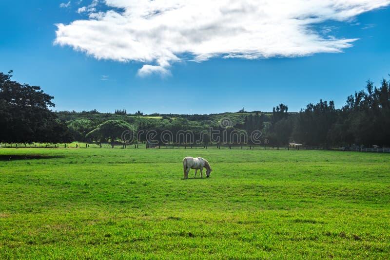 Häst för vit häst på gräsmatta för grönt gräs för hästlantgård Landskap för landssommarstillhet royaltyfria bilder