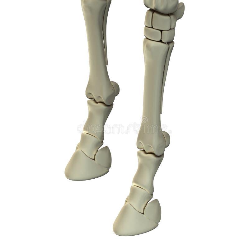 Häst Front Leg Bones - hästEquusanatomi - som isoleras på vit royaltyfri illustrationer