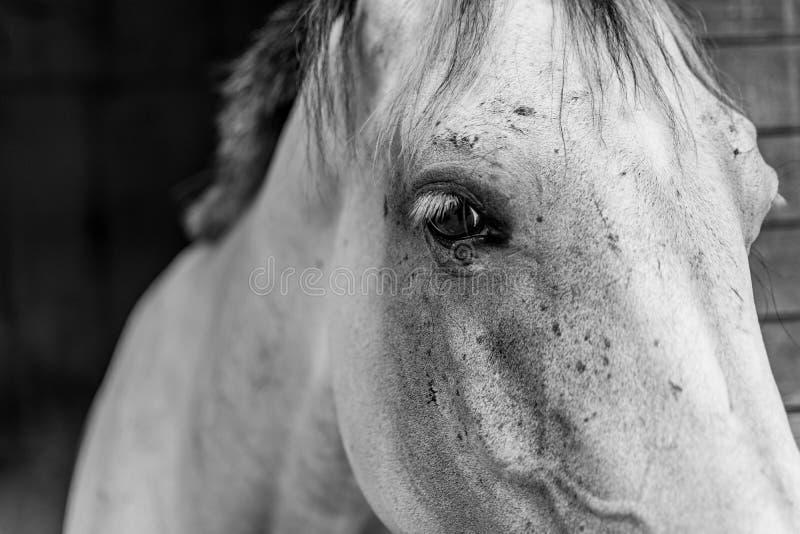 Häst - hästöga arkivbild