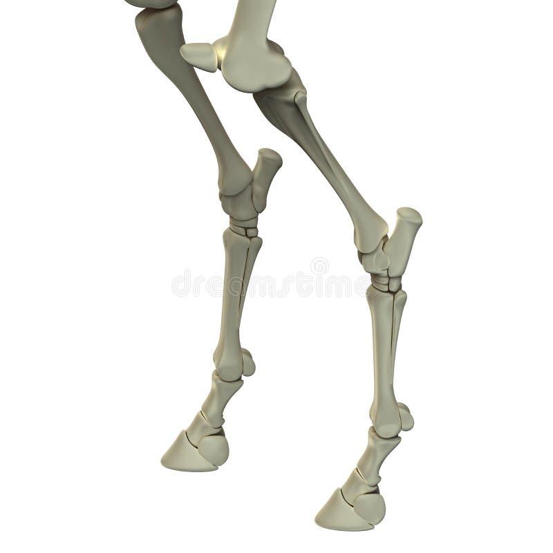 Häst Hind Leg Bones - hästEquusanatomi - som isoleras på vit royaltyfri illustrationer