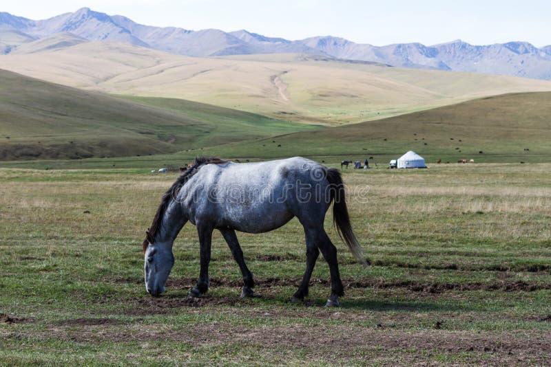 Häst i bergen på yurten fotografering för bildbyråer