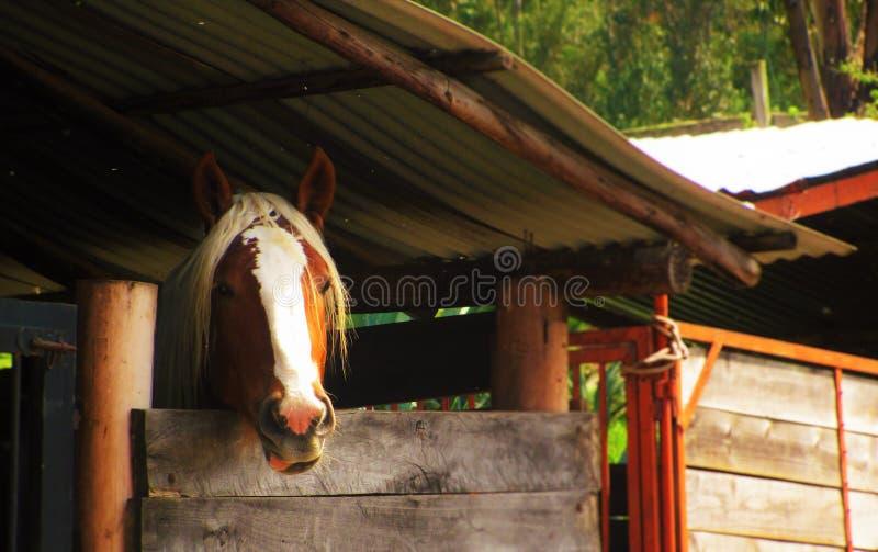 Häst i en ladugård royaltyfri fotografi