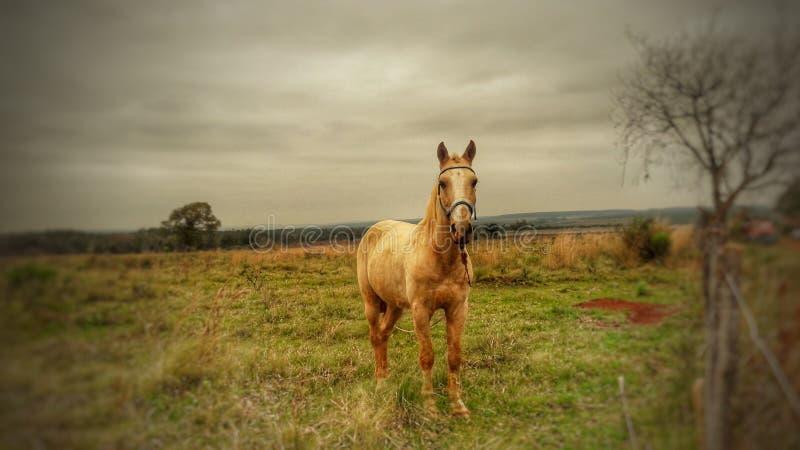 Häst i ett fält som ser till framdelen fotografering för bildbyråer