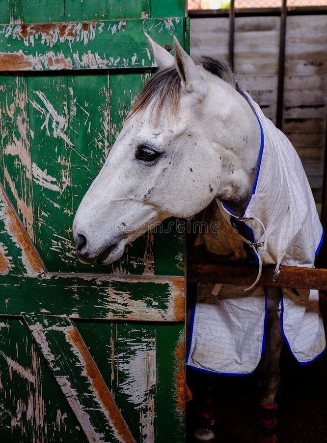 Häst i ett stall på Ekka den kungliga Queensland showen royaltyfria foton