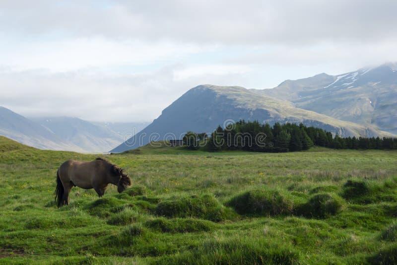 Häst i fälten av Island, sommar arkivbilder