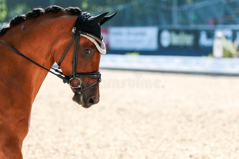 Häst i konkurrens på en turnering i stående royaltyfri bild