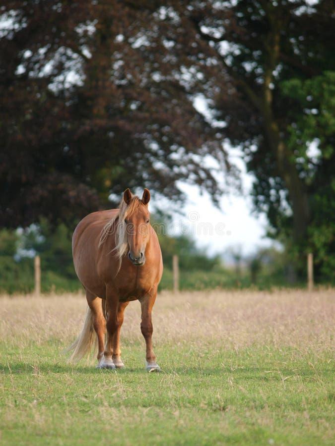 Häst i paddock royaltyfri fotografi