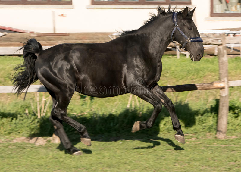 Häst i paddock arkivbild