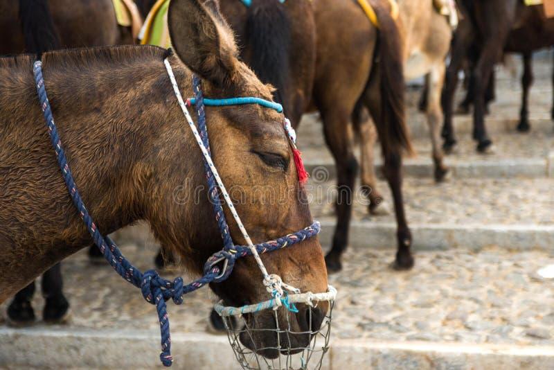 Häst i Santorini Grekland royaltyfria foton