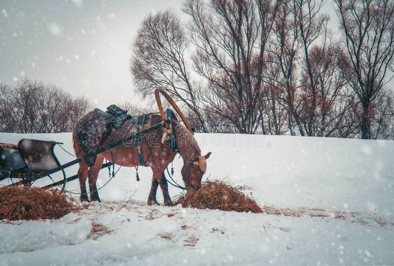 Häst i sele royaltyfri foto