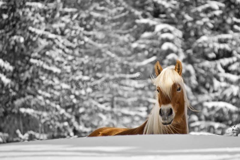 Häst i snowen royaltyfri bild