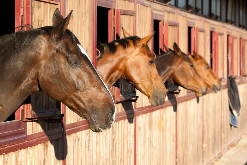 Häst i stablen arkivbilder