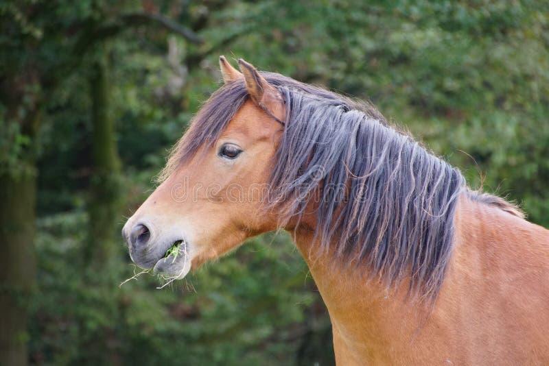 Häst i Tyskland arkivbild