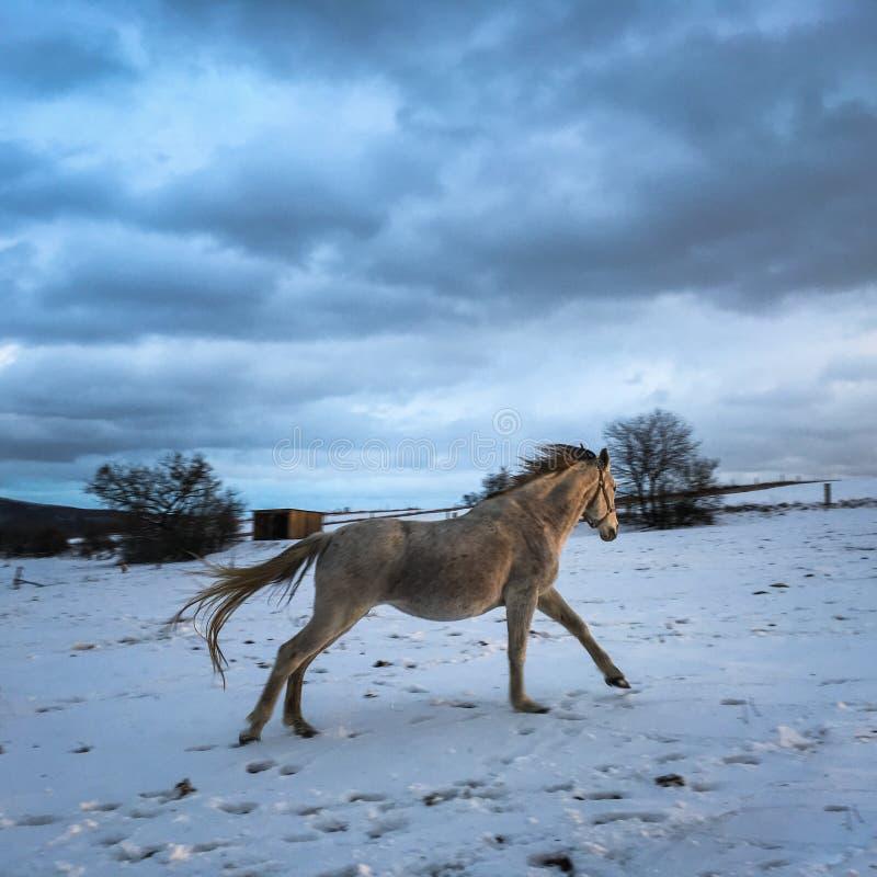 Häst i vinter på snö royaltyfri bild