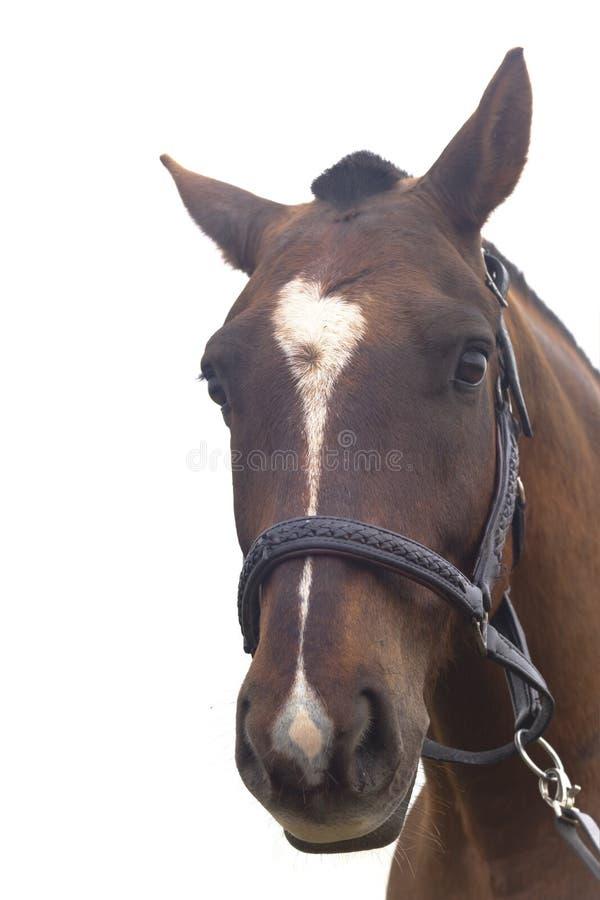 häst isolerad ståendewhite arkivbilder