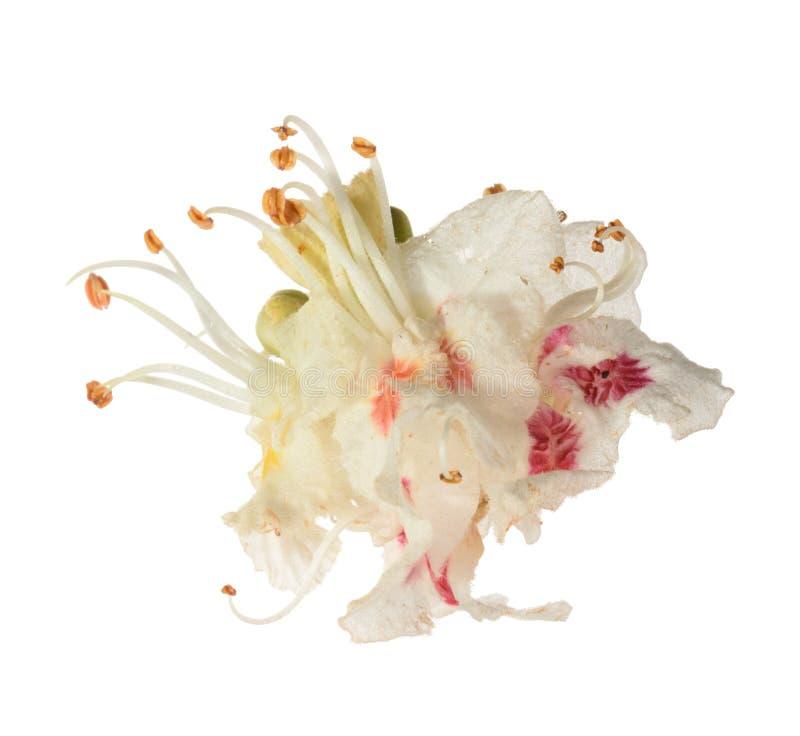 Häst-kastanj (Aesculushippocastanum, Conkerträd) blommaisolator arkivbilder