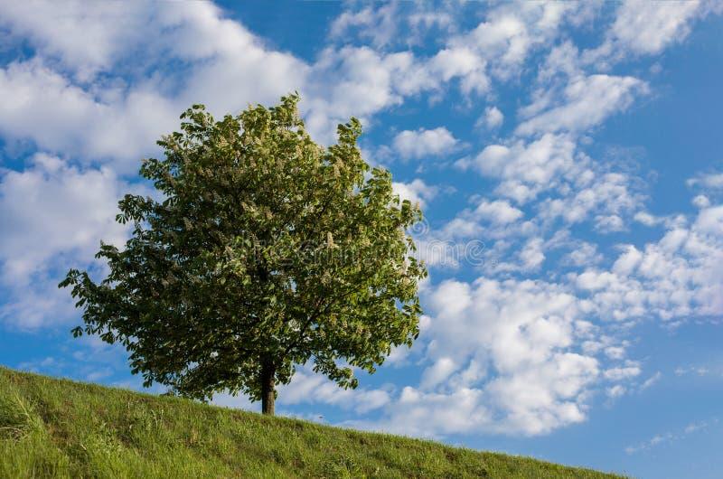 Häst-kastanj träd mot blå himmel arkivfoto