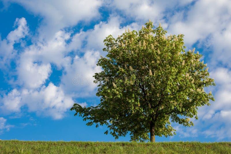Häst-kastanj träd mot blå himmel arkivbild