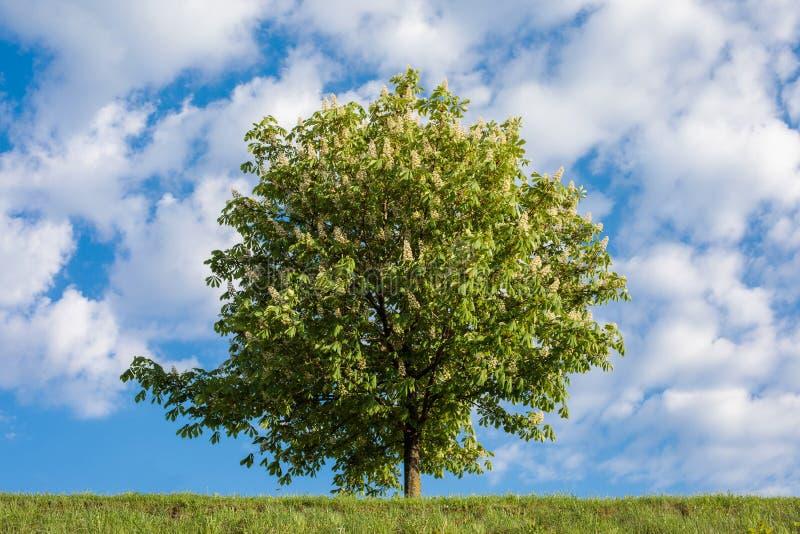 Häst-kastanj träd mot blå himmel royaltyfria foton