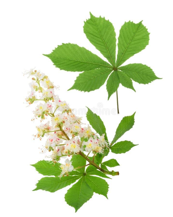 Häst-kastanjen (Aesculushippocastanum, Conkerträd) blommar iso royaltyfri bild