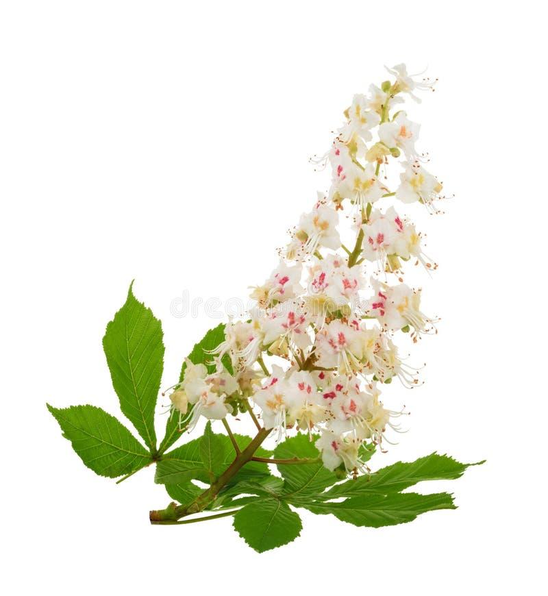 Häst-kastanjen Aesculushippocastanumen, Conkerträd blommar iso royaltyfri foto